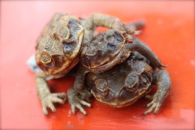 toads in a heap